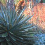 Landscape Large Succulent