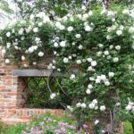 English Rose Bush on Brick